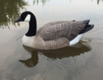 THE REAL DeCOY® Swimmer DOA Canada Goose - TRDCSWDOA